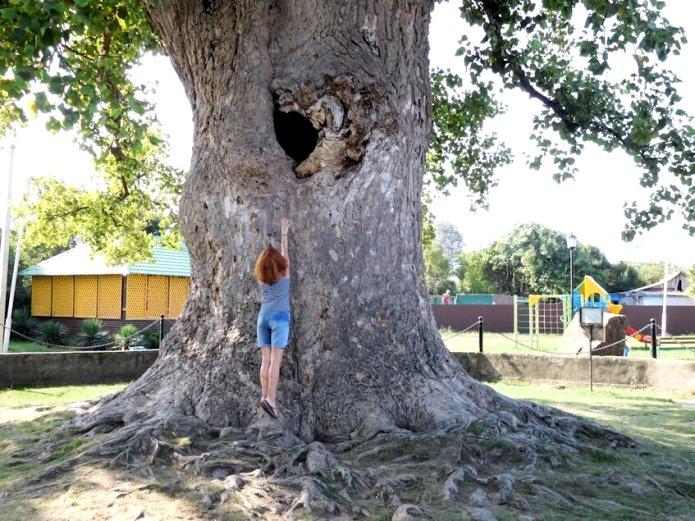 дърво на лале