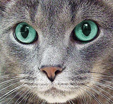 котката има воднисти очи