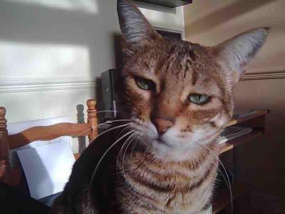 воднисти очи на шотландска котка
