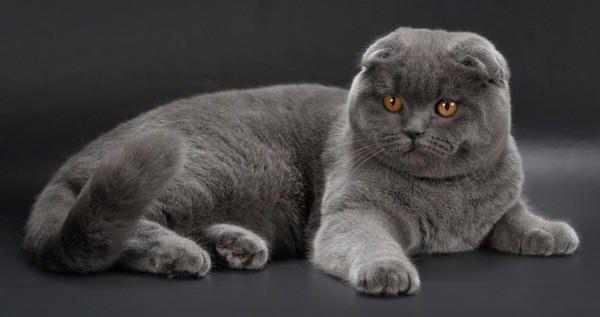 Velika debela kineska maca