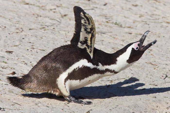 pinguini in africa