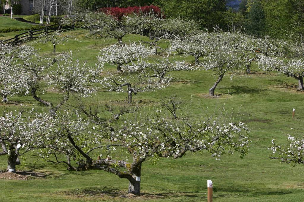 Jabučni voćnjak