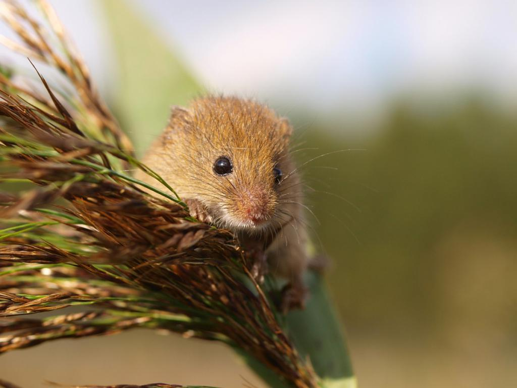 dječji miš
