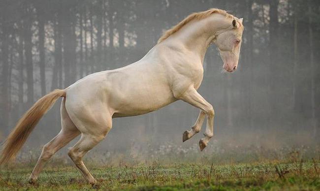 Krem Akal-Teke konj