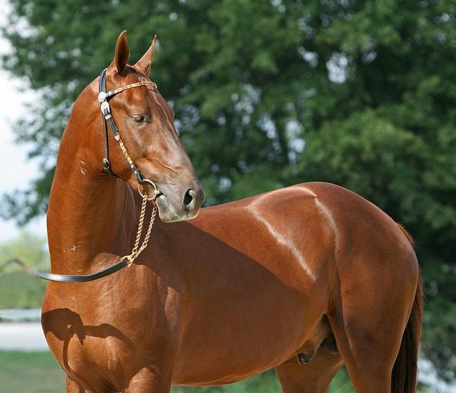 Odijela konja Akhal-Teke