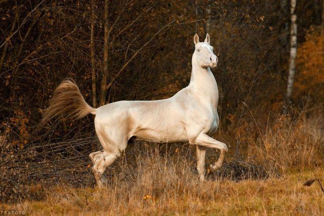 Ahal-Teke konja isabella odijelo