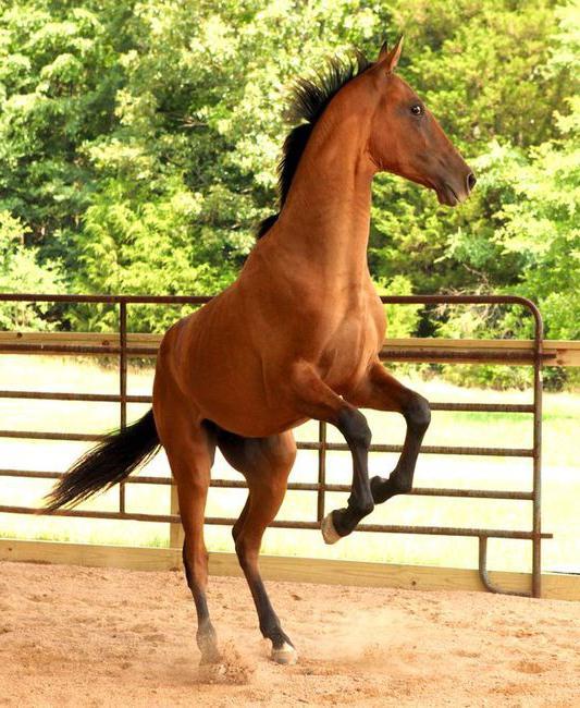 Fotografija konja Akhal-Teke