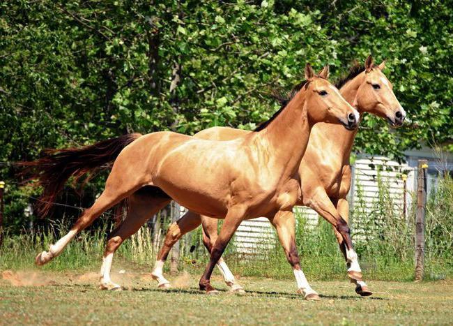 Uzgoj konja Akhal-Teke