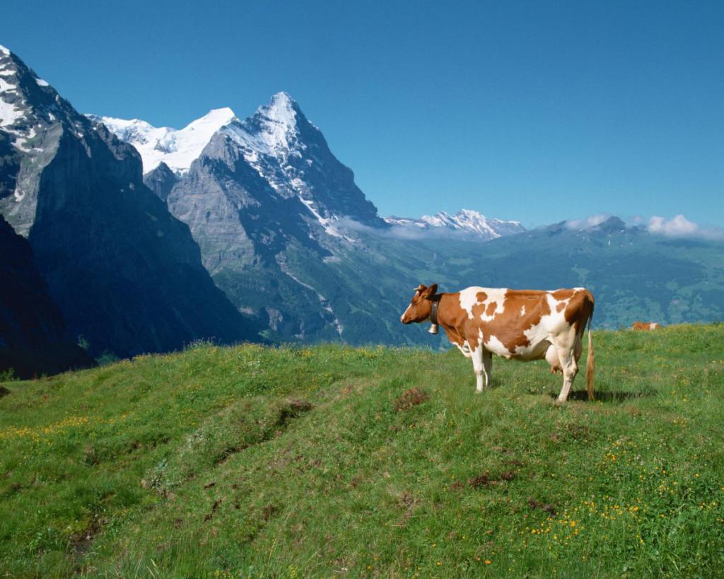 Krowa - Alpy
