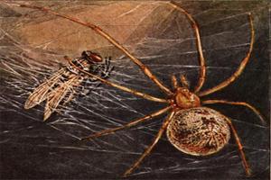 pavoučí kříž