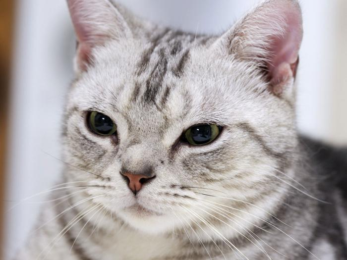 gatto american shorthair