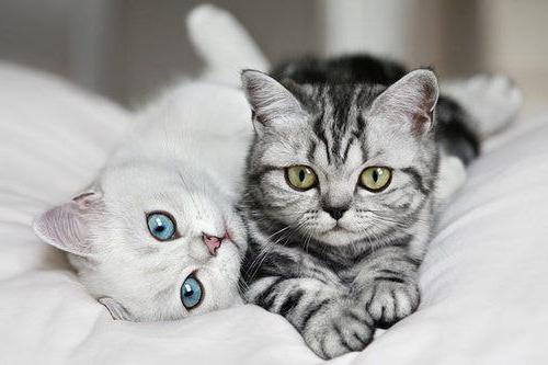 razza americana di gatto a pelo corto