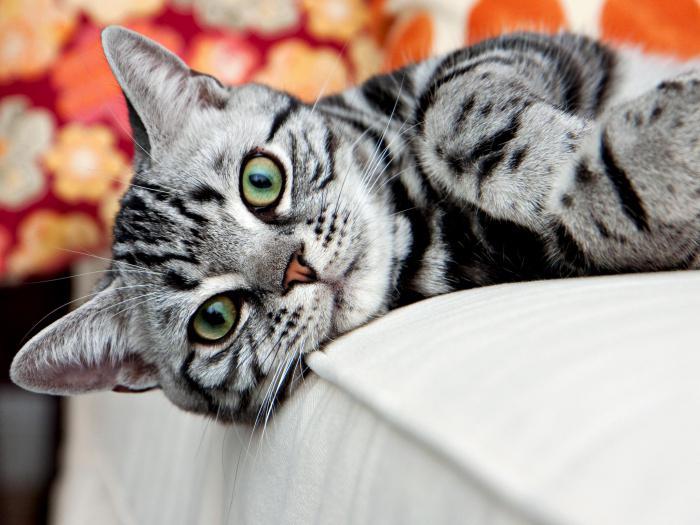 carattere americano di gatto a pelo corto