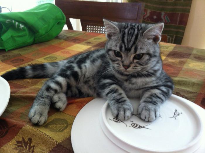recensioni american shorthair cat