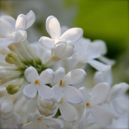 Foto e descrizione del lillà dell'Amur