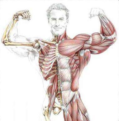 anatomia dell'allenamento della forza