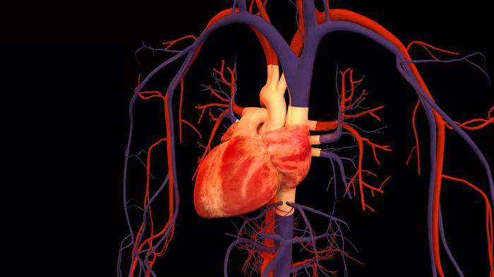 La struttura e il lavoro del cuore.