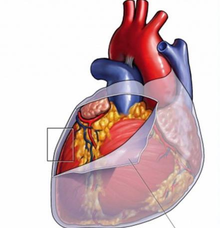Anatomia del cuore.