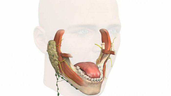anatomia della mascella superiore e inferiore