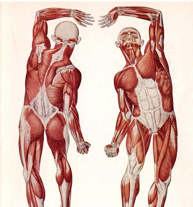 Структура тела, мишић