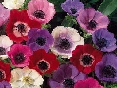 Anemone cvijet