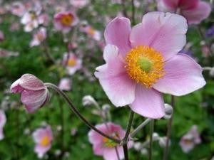 Japanska anemona