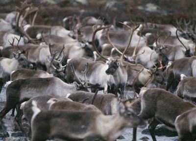 što životinje žive u tundri