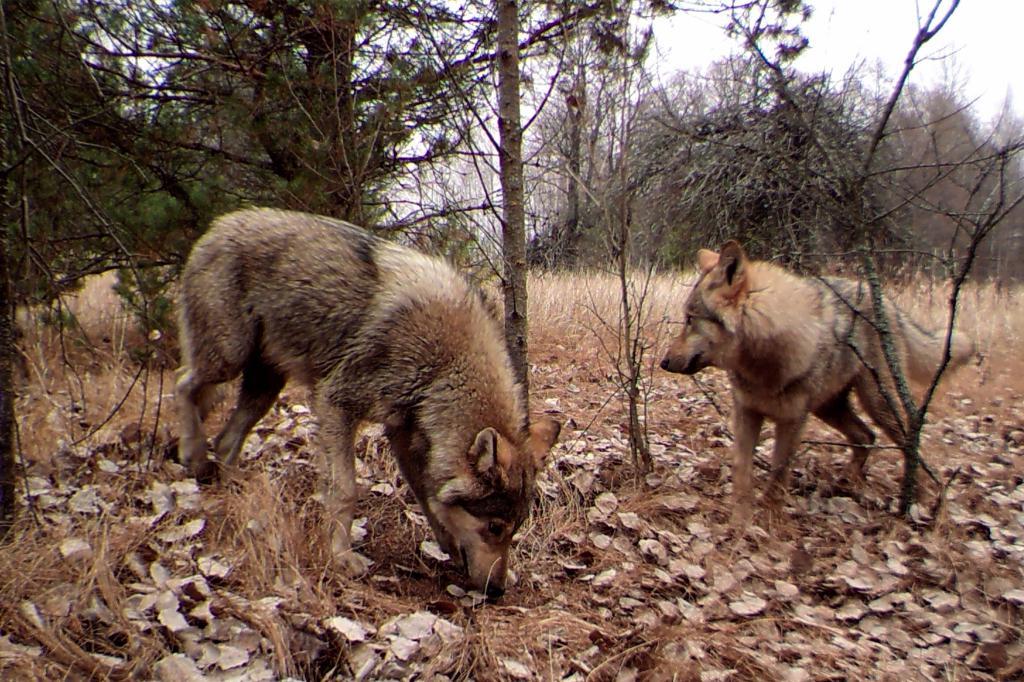 Фотографија за мутанте животиња у Чернобиљу