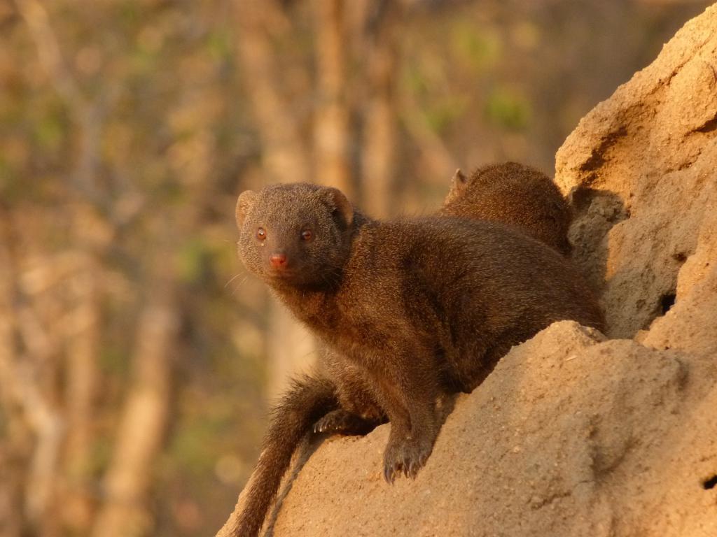 Mongoose u jazbinama