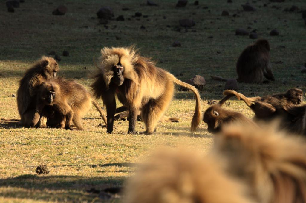 Velika obitelj majmuna