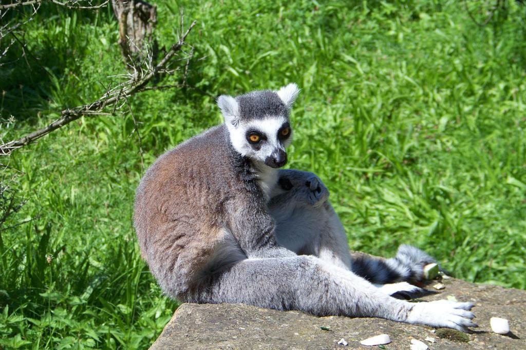 Lemur je aktivan u večernjim satima