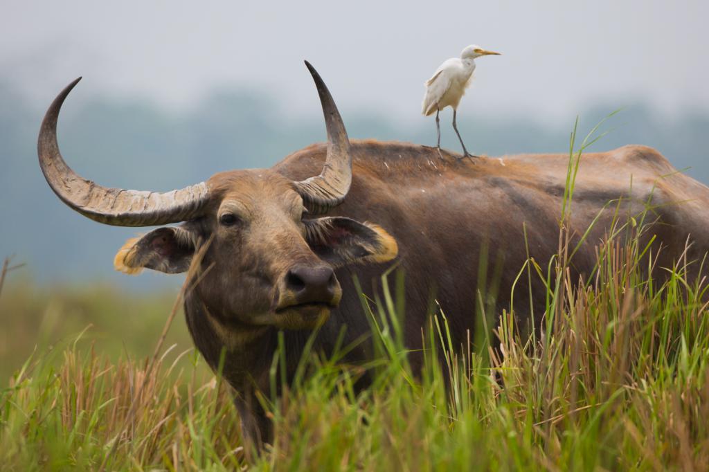 Buffalo u Indiji