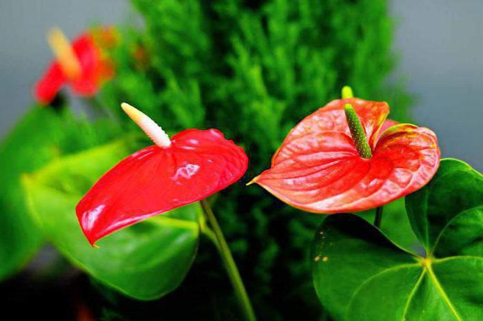 segni di fiori di anthurium maschio