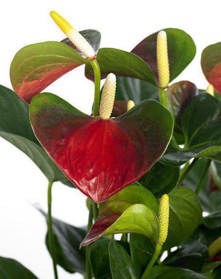 presagi di anthurium fioriti