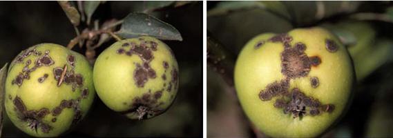 crosta della malattia della mela