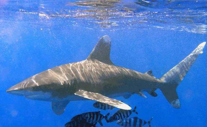 има ли ајкула у црном мору