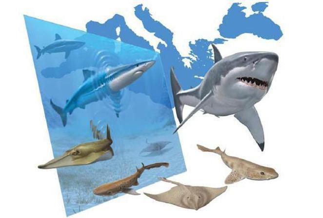 има ли ајкула у црном мору у анапи