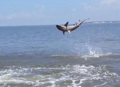 има ли ајкула у црном мору у Сочију