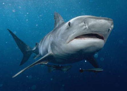 има ли ајкула у црном мору Сочија
