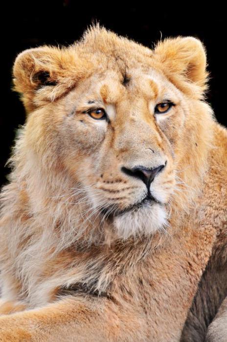 Opis azijskog lava