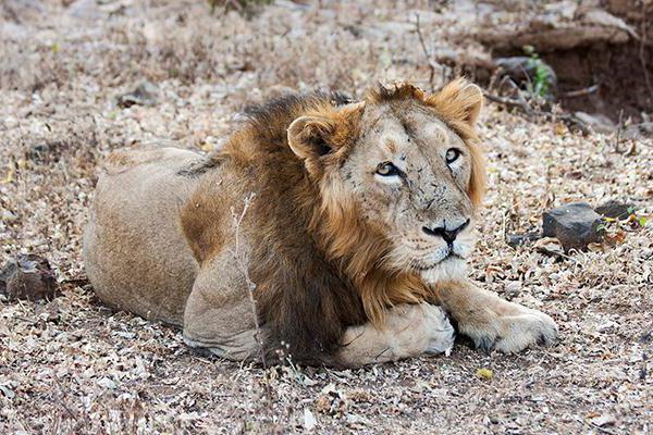 Azijski lavski ponos Indije