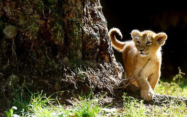 Indijski lav Azijski lav