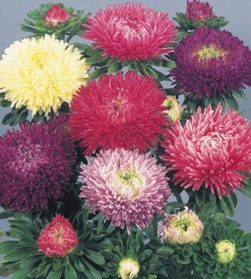 fiore di aster