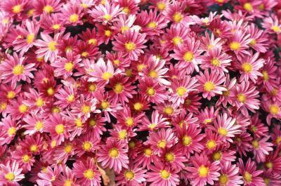 crescendo fiori d'aster