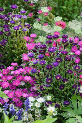 piantare fiori aster