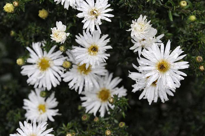 Astra Nowe belgijskie sadzenie i pielęgnacja