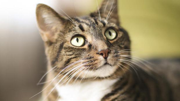 a quale età può essere sterilizzato un gatto?