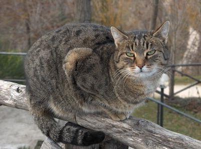 у које време кастрирати мачку