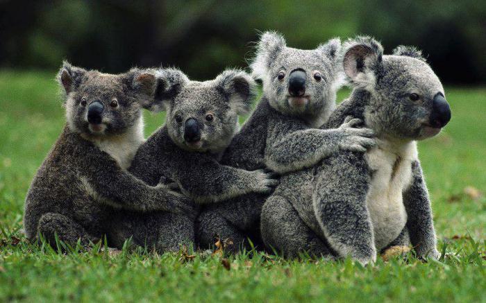 avstralskih živali