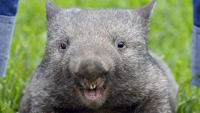 avstralskih imen živali